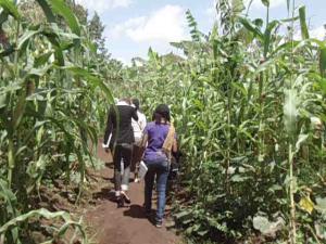 Il faut zigzaguer entre les champs de maïs. Photo Mathias Mouendé