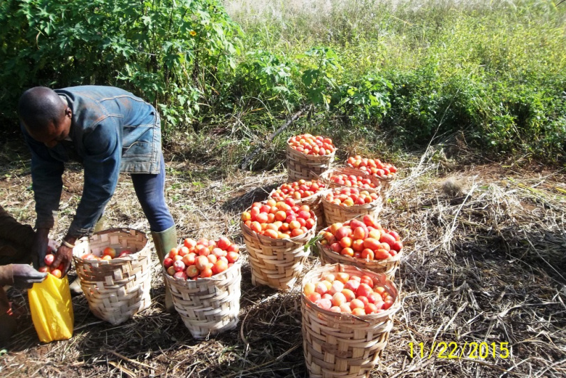 un-jeune-agripreneur-recolte-des-tomates-dans-son-champs-photo-darchives